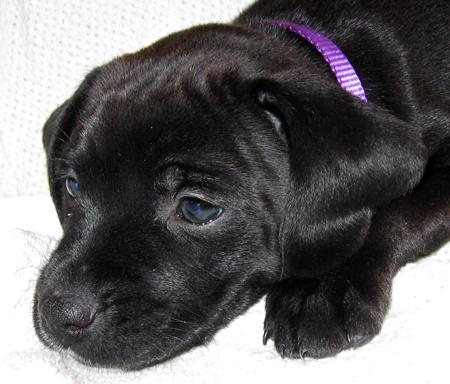 Beagle Boxer: Boxer Black Lab Mix