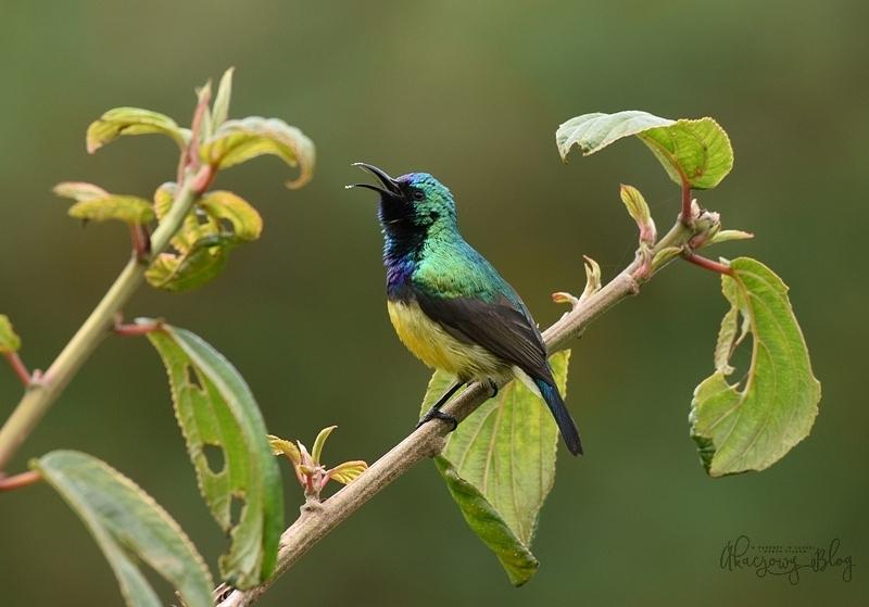 Ptaki Etiopii - wrzosowiska i strefa lasu Harenna.