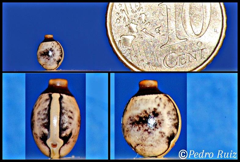 Huevo de Extatosoma tiaratum