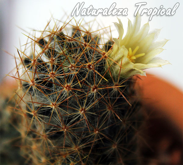 Otra foto del cactus Mammillaria prolifera