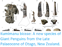 https://sciencythoughts.blogspot.com/2018/02/kumimanu-biceae-new-species-of-giant.html
