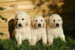 Purchasing A Golden Puppy