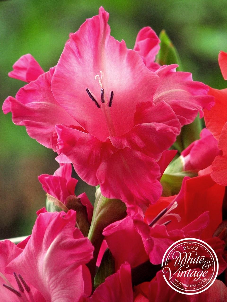 Gladiolen sind sehr beliebte Schnittblumen