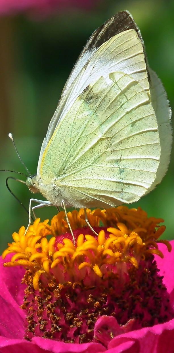 Butterfly on a zinnia flower.