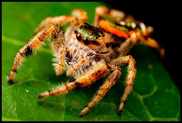 Seu nome popular vem do fato dela ser capaz de pular, em média, uma altura 50 vezes maior do que seu próprio tamanho.