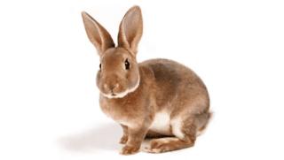 gambar hewan peliharaan kelinci www.simplenews.me