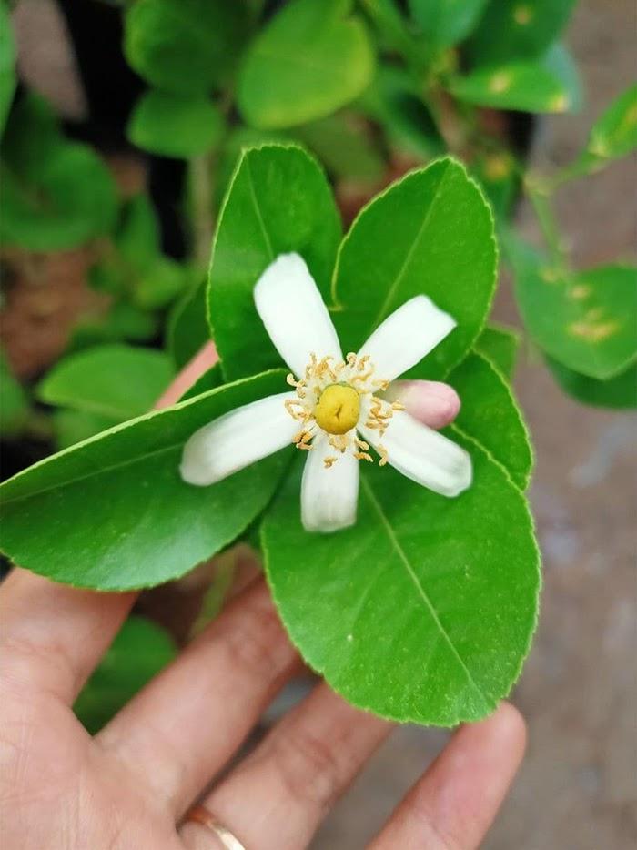 BIBIT tanaman pohon buah JERUK NIPIS limo limau keep nagami songkit sonkit purut santang madu Jawa Timur