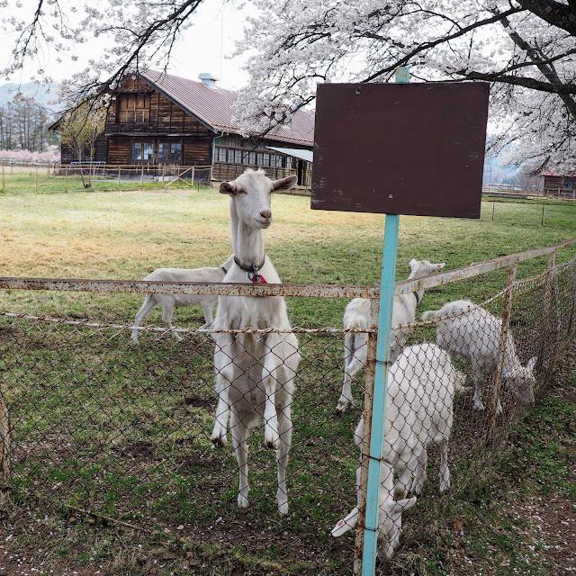 長野牧場 家畜改良センター茨城牧場長野支場 ヤギ