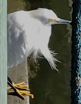 snowy egret; Mt. Pleasant; South Carolina; Giorgio Coniglio