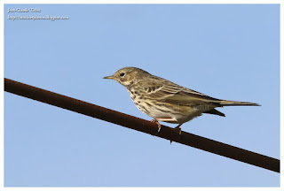 https://bioclicetphotos.blogspot.fr/search/label/Pipit%20farlouse%20-%20Anthus%20pratensis