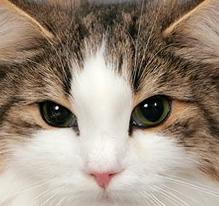 Norwegian Forest Cat vs Siberian Cat Personality, Size, Lifespan, Price