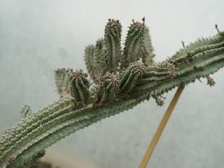 Euphorbia polygona
