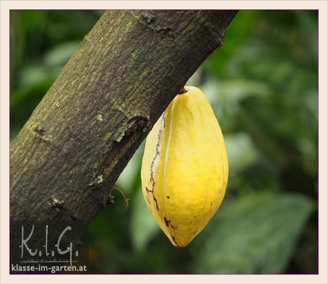 Palmenhaus Schoenbrunn: Kakaofrucht