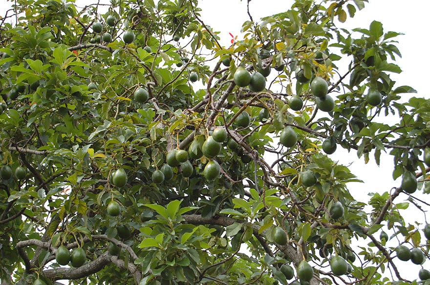 Do You Know What Your Favorite Foods Look Like While Growing - Avocados hang off trees