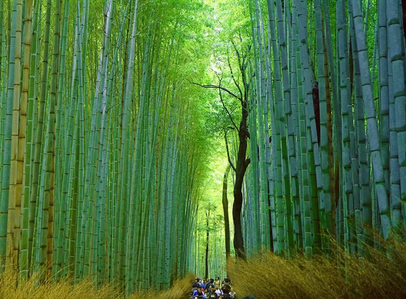 Sagano Bamboo Forest in Arashiyama, Kyoto, Japan