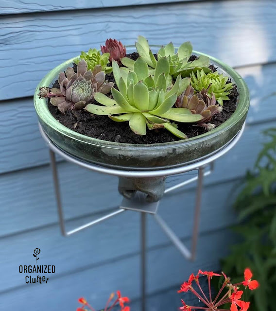 Photo of hen & chicks planted in a vintage glass insulator