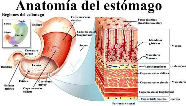 Anatomía del estómago: partes y funciones digestivas