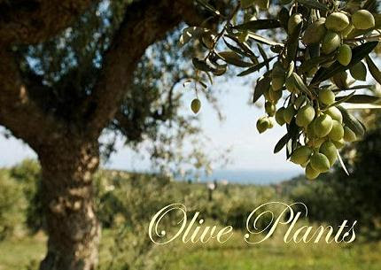 Olive Plants: Inscribed on My Heart