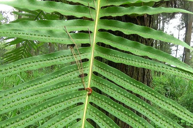Dlium Rentep fern (Drynaria propinqua)