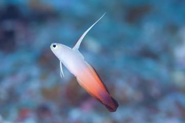 Firefish Goby - 6 Jenis Ikan Kecil Yang Ditemukan Di Dunia