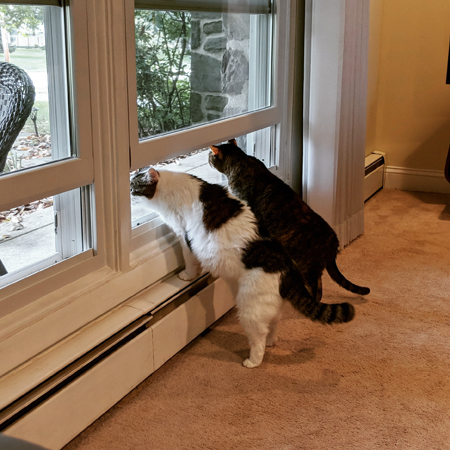 image of Olivia the White Farm Cat and Sophie the Torbie Cat standing on their back legs looking out the front window