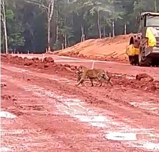 Vídeo: Onça-pintada é flagrada em estrada construída pela MRN