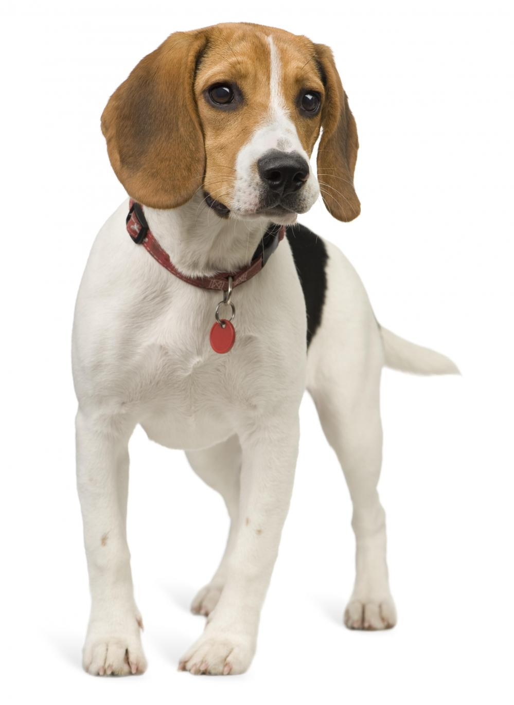 Hound Dog Breed Group - American Kennel Club