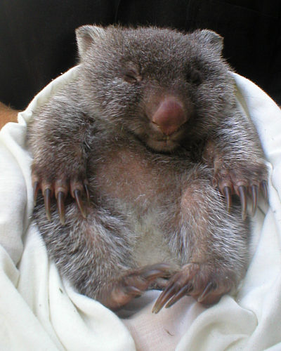 Baby Wombat: Most Funniest Photographs
