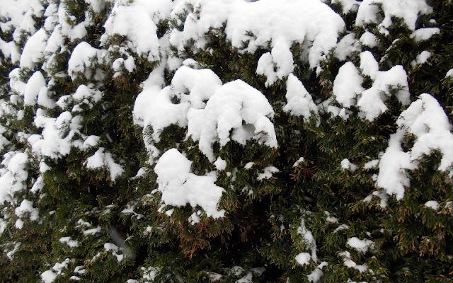 Laag sneeuw op de coniferen