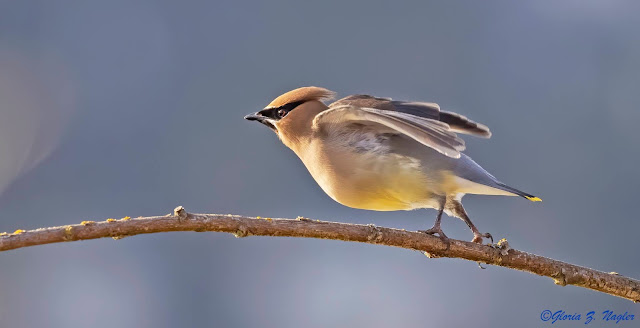 Cedric is quite dashing with a smooth peach and yellow belly, a pale orange head and brown wings and back. Most striking is his crested pale orange head and the bold black Lone Ranger mask he wears. He is leaning forward on the branch with his weight on his forward foot and his other foot stretched out behind, lightly touching the branch. Most of his body is leaning on air.