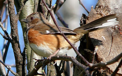 Photo of an Eastern Towhee in a tree