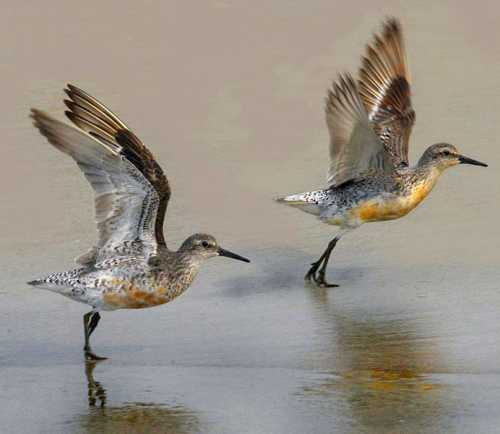 Bird World - Calidris canutus