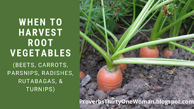 How to Know When to Harvest Root Vegetables: beets, carrots, parsnips, radishes, rutabagas, and turnips