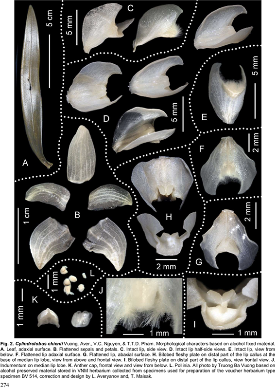 Cylindrolobus chienii