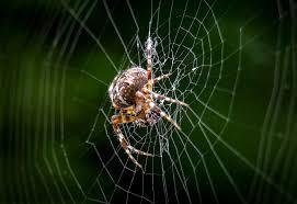 laba-laba yang bodoh dan malas