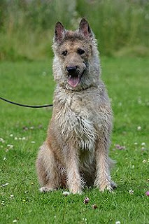 Laekenois dog-pets-dogs-dog breeds