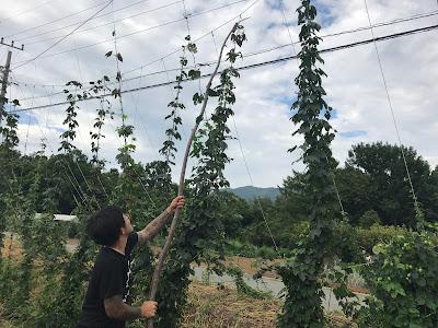 ホップの収穫方法 (宇宙ブルーイング)