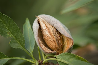 almonds,badam in hindi,profits of almonds