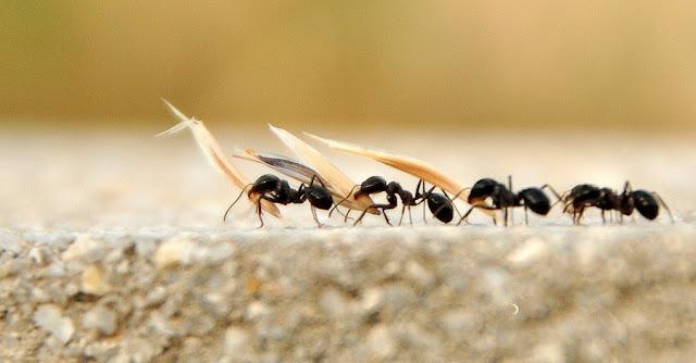 Buğday taşıyan karıncalar