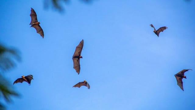 خفافيش الثمار تحلق فوق سوق باتامبانغ، التي تعد واحدة من المناطق التي يحدث فيها الاحتكاك المباشر بين الخفافيش والبشر يوميا في كمبوديا