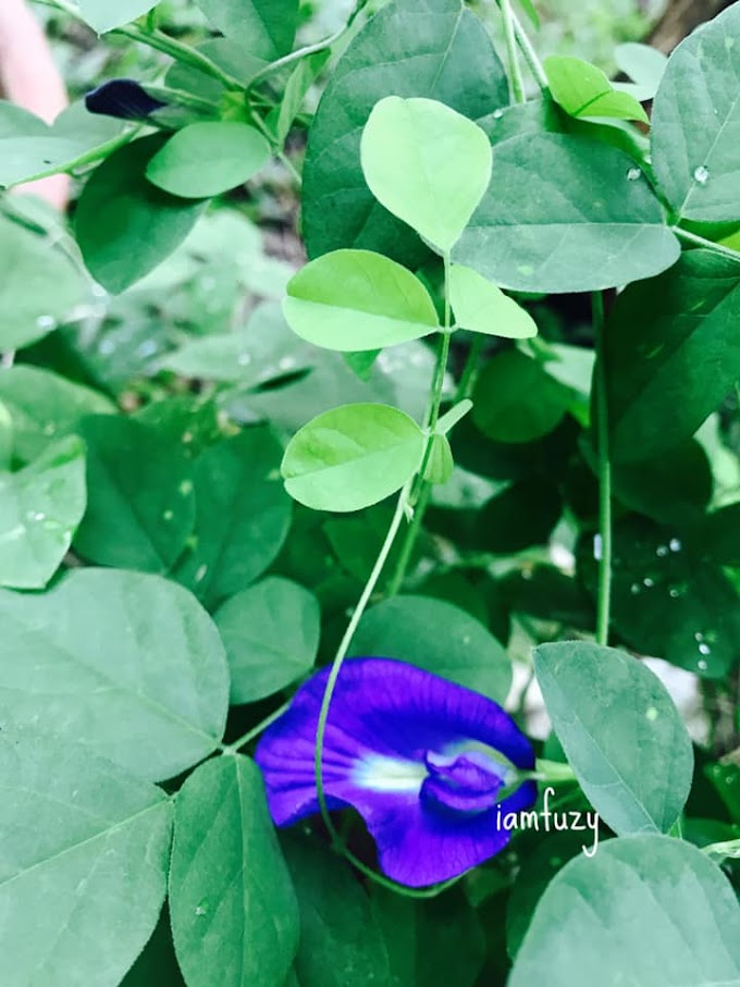 10 Manfaat Pokok Bunga Telang Selain Bunga Telang Untuk Nasi Kerabu