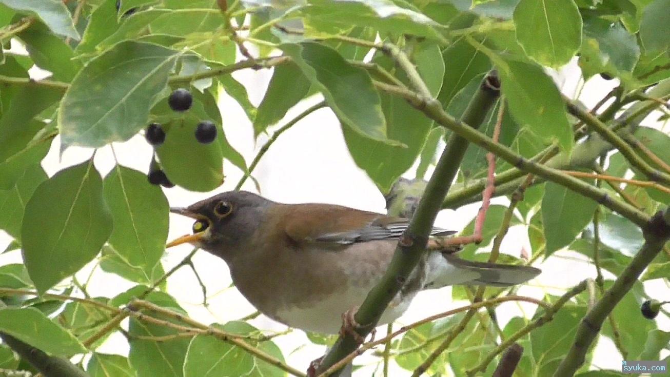 楠の実を食べるシロハラ