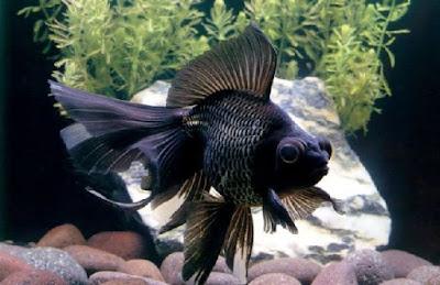 Contoh gambar ikan mas Koki black moor