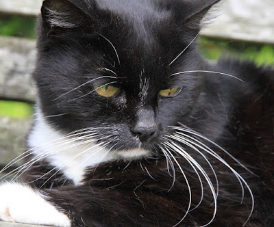Black and white cat - a piebald cat
