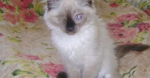 Породистый котенок родился слепым. Хозяйка хотела его усыпить, но ветеринар отказался