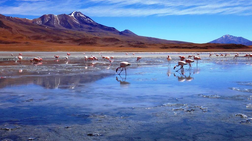 Розовые фламинго в лагуне Чакса в пустыне Атакама, Чили