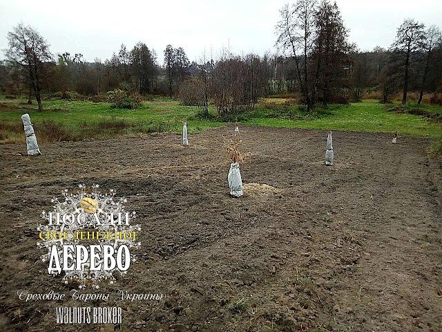 Утепление саженцев грецкого ореха от участников Ореховые Бароны Украины