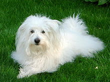 Beautiful Coton de Tulear dog