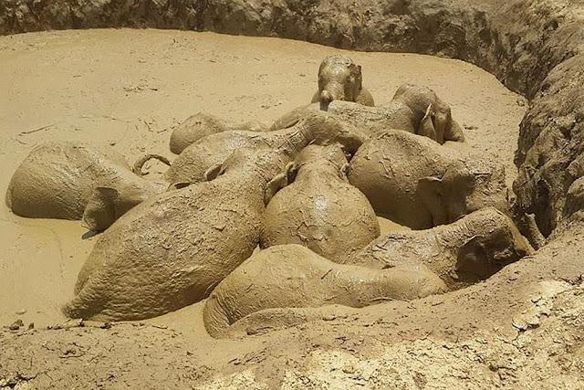 Éléphants enlisés dans la boue