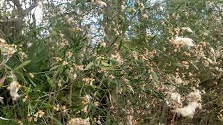 Baccharis hamifolia (saltbush) shrub south usa louisiana white flowers